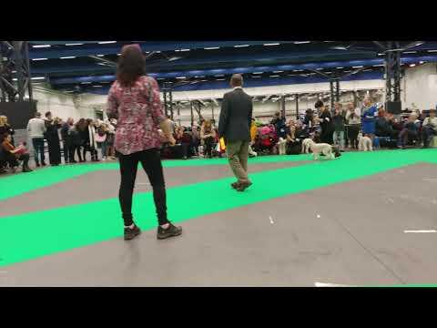 Hundmässa 2018 Bedlington Terrier Best Of Breed