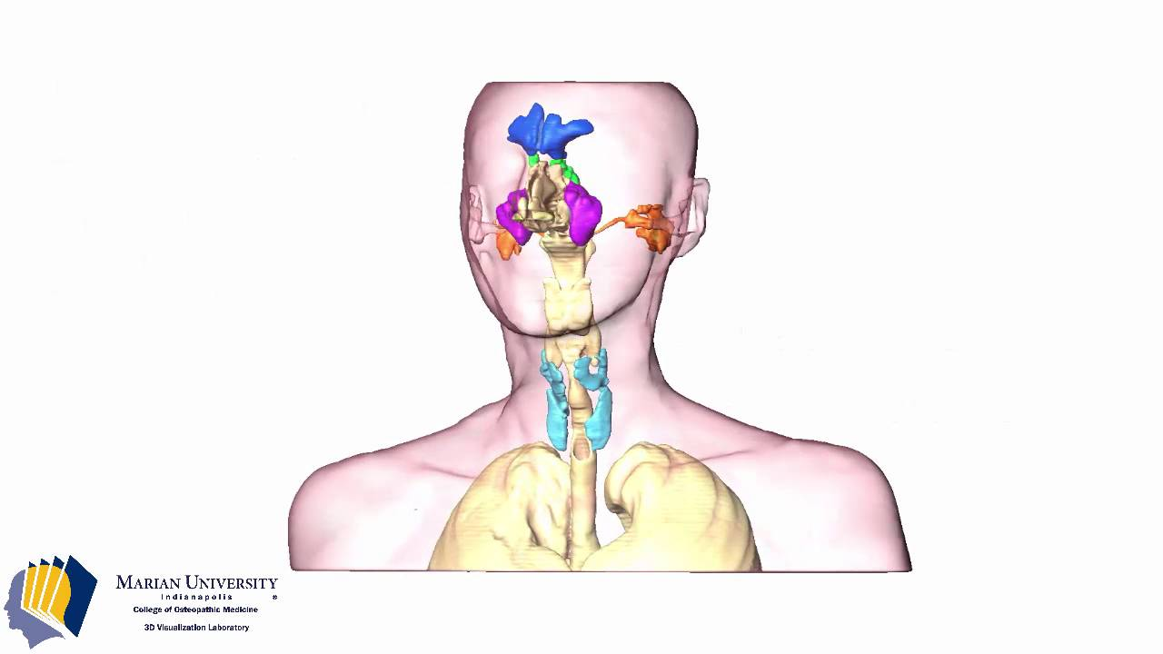 3d Visualization Of The Airway Paranasal Sinuses And Mastoid Air