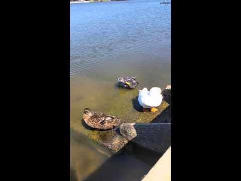 Domestic duck grooming