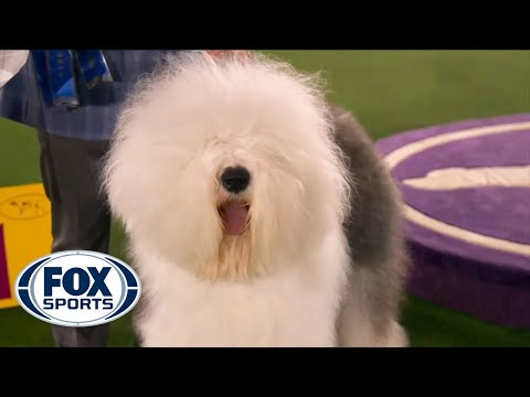 Connor, the Old English Sheepdog, wins the blue ribbon in the Herding Group | FOX SPORTS