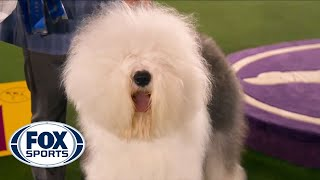 Connor, the Old English Sheepdog, wins the blue ribbon in the Herding Group   FOX SPORTS