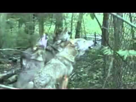 Как разговаривает волк