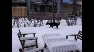 Doberman In The Quebec Winter