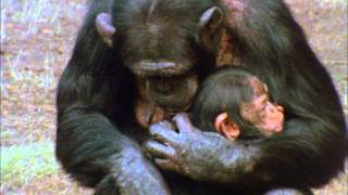 CHIMPS FAMILY 1