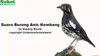Download Suara Burung Anis Kembang mp3