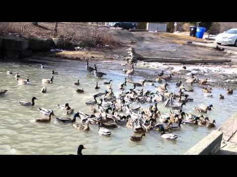 Birds Play Around Ontario Lake.