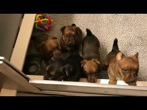 Australian Terrier Puppies 4 Weeks - Araluenkennel.com