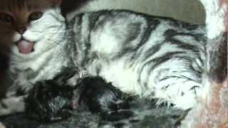 Как рожают кошки. give birth to a cat(Моя кошка окотилась. Я заметил странное поведение. Ночью она забилась под моё одеало и легла возле ног. Я..., 2013-04-08T12:56:01.000Z)
