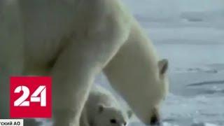 В кольце у белых медведей: хищники взяли в заложники жителей поселка - Россия 24