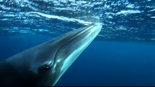 Minke whales, Cairns & Great Barrier Reef Thumbnail