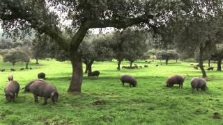 Cochinos Ibéricos. Dehesa de Campo Alto