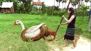 BRAVO WOMAN RESCUE DUCK FROM HUNTING PYTHON IN INDIA | Rescue Animals