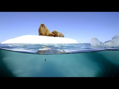 Filming Walrus With The Megadome - Blue Planet II - Behind The Scenes