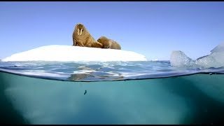 Filming Walrus With The Megadome | Blue Planet II | Behind The Scenes