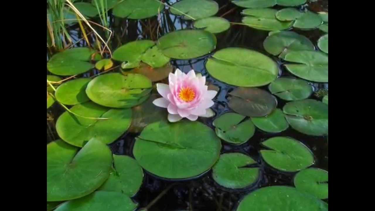 Ninfee e fiori di loto youtube for Fiori dipinti a olio