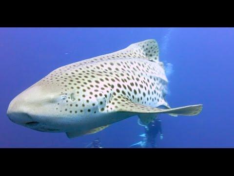 Leopard Sharks aka Zebra Sharks