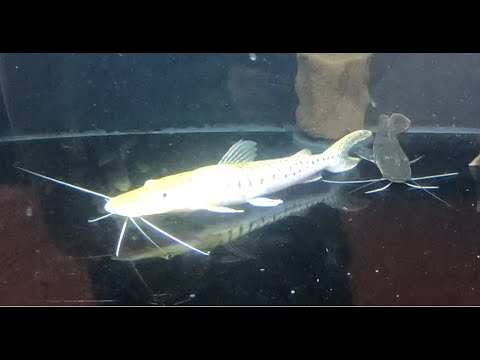 PLATINUM Tiger Shovelnose Catfish!