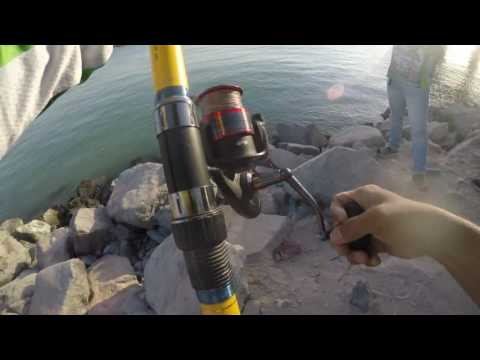 Monster fish Strike in AL Bateen, Abu dhabi