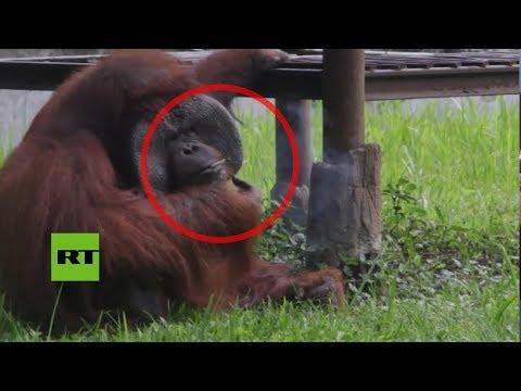 Indignación: Graban a un orangután fumando en un zoo indonesio