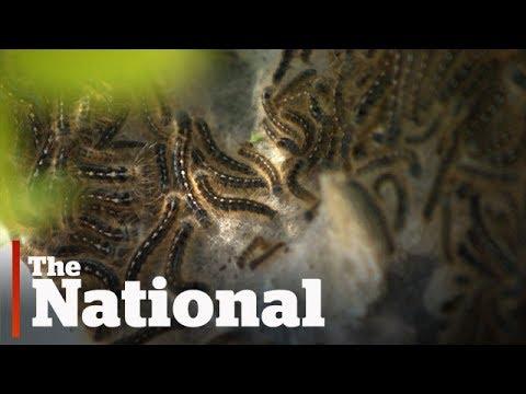 Caterpillar infestations plague Canadian cities