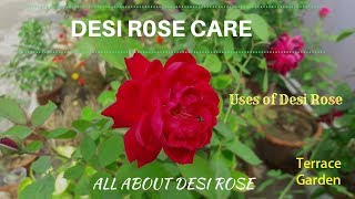 Desi Rose Tips And Care (HINDI/URDU). //देशी गुलाब  कैसे लगाए  // All About Desi Rose  And Uses .