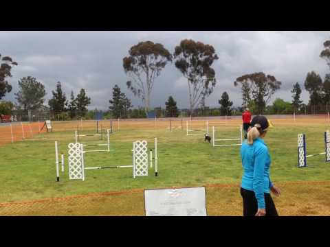 Jack ASCA Novice Jumpers lst Place  Q & Novice High in Trial  5 7 2016 rain Doyle Park, LaJolla