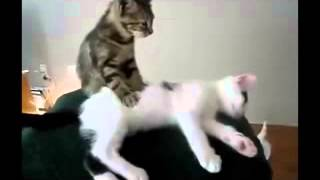 Прикольный кошачий массаж