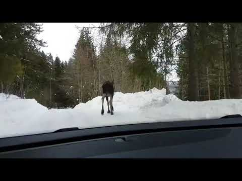 Frustrated Moose Smashes Car Window - 986198