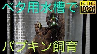 [ パプアキンイロクワガタ ] ベタ用水槽でパプキン飼育! [テラリウム ] HD