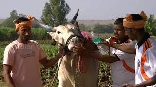 Kolhapur khillari bulls pulling a cart at 33 Km per hour speed