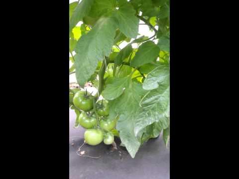 Президент II F1 (President II F1) индетерминантный томат компании Seminis