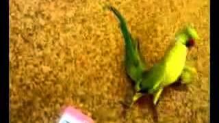 Попугай отрывается Видео Видео приколы Попугай Прикол Приколы Приколы с животными танцующий попугай(, 2014-03-29T15:45:06.000Z)