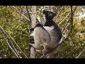 Madagascar Indri calling