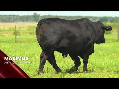 Touro Maximus - Brangus indicado para IATF - RENASCER BIOTECNOLOGIA VIDEO