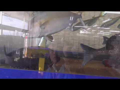 水槽の中で逃げ回るイワシですが最後はクエにパクリと食べられる 和歌山釣太郎