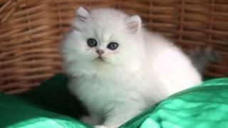 котенок персидской шиншиллы. кошечка