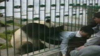 ARCHIVE CLASSIC: Angry panda attacks man and steals his jacket