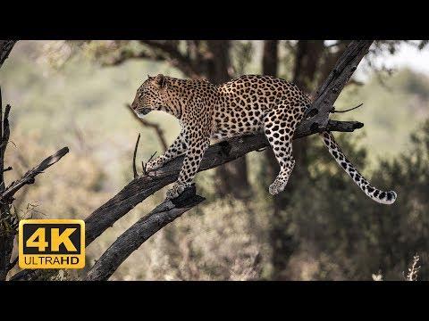 Wild Botswana - 4K