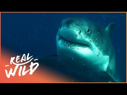 savagely-attacked-by-a-bull-shark!-|-human-prey-|-real-wild-documentary