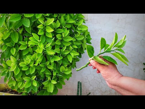 Best Plant Cuttings to Grow in Monsoon / Rainy Season (1) || Fun Gardening from YouTube · Duration:  10 minutes 55 seconds