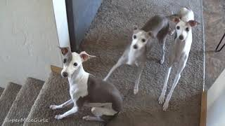 Italian Greyhounds 1st time to an Airbnb ... SMG