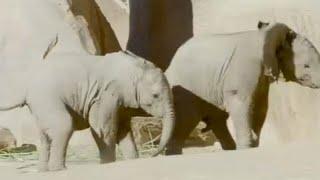 شاهد: صغيرا فيلة يلعبان في حديقة حيوان بكاليفورنيا
