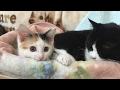壁の中から出て来た子猫。女王猫おちゅちゃんとカゴの中で長期戦。