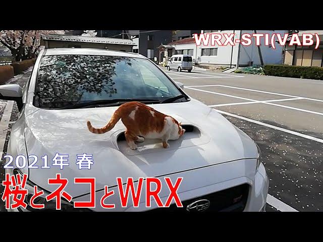 桜とネコとWRX WRX STI