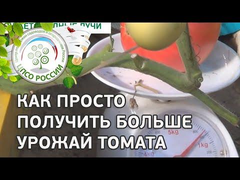 Выращивание индетерминантных (высокорослых) сортов. Как приспускать главный стебель.