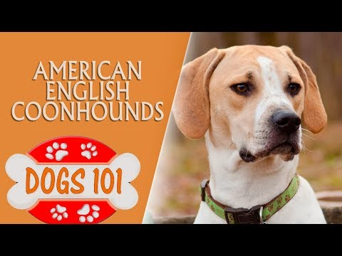 Dogs 101 -  American English Coonhounds - Top Dog Facts About the  American English Coonhounds