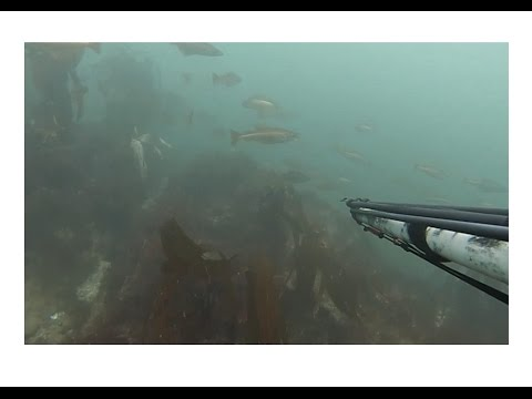 Spearfishing Bass & Pollock - Gower, South Wales, UK August 2015