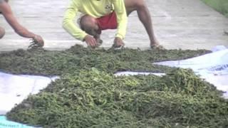 Black Pepper - our 2011 harvest