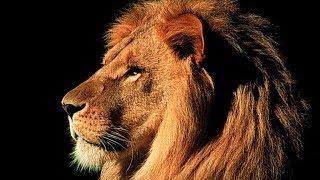 Lionsrock - Die Heimkehr des Königs - Doku Löwe