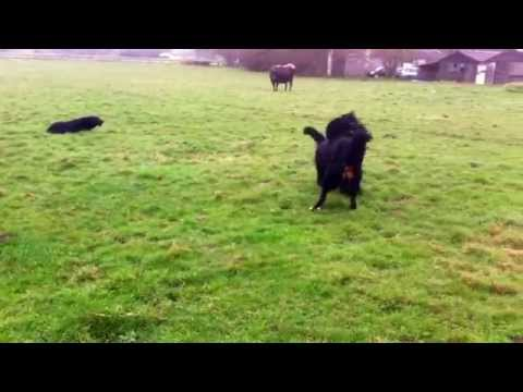 Copy of #Large#dogs#playing.#Bernese and #Briard. Heidi and Mopsa